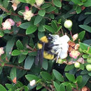 Image of Sonoran bumble bee