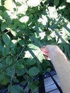Image of <i>Acer platanoides</i>