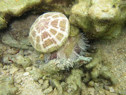 Image of Collector urchin