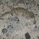 Image of Common wonder gecko