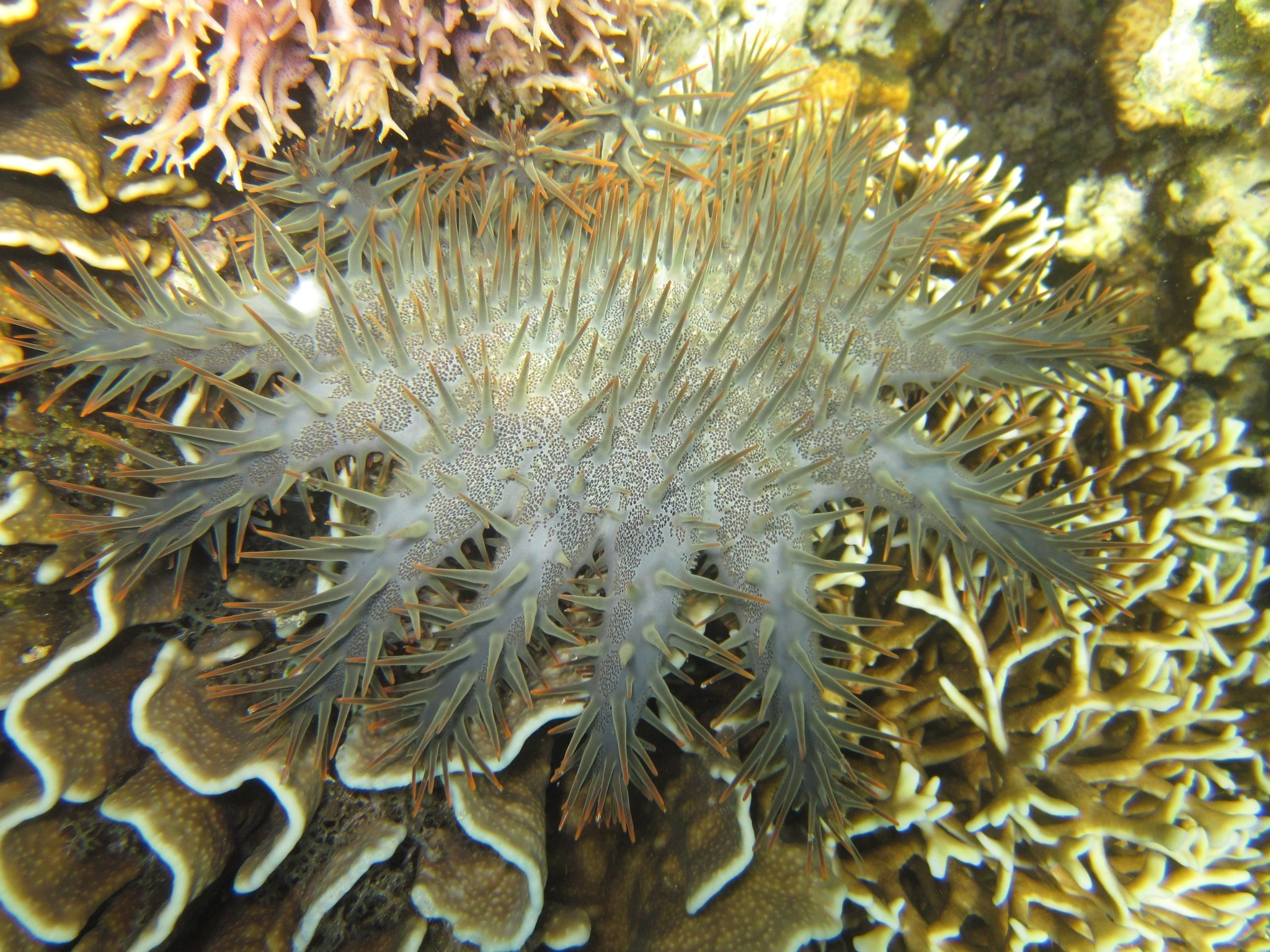 Image of Crown of thorns starfish