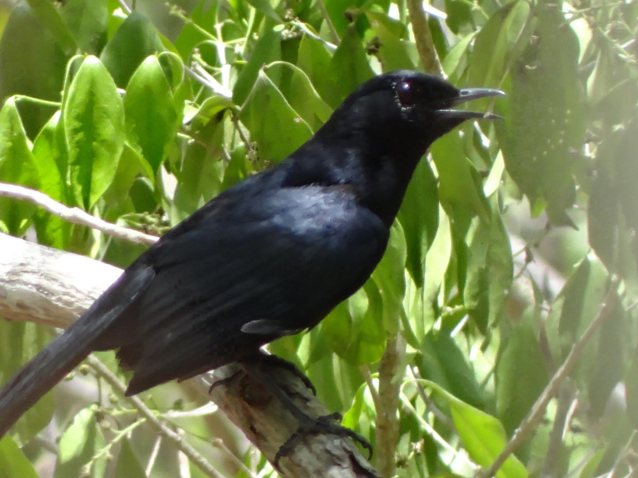 Image of Black Catbird