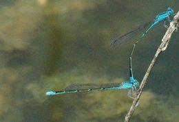Image of <i>Enallagma traviatum westfalli</i>