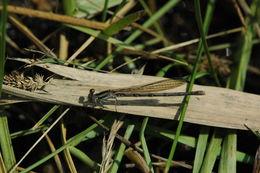 Image of <i>Argia fumipennis violacea</i>