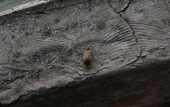 Image of Furniture beetle