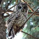 Image of Barred owl