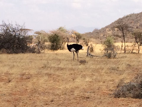 Image of Somali Ostrich