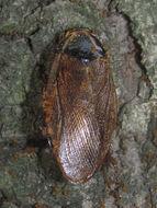 Image of <i>Pycnoscelus surinamensis</i> (Linnaeus 1758)