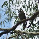 Image of Grey Currawong