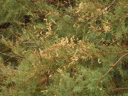 Image of <i>Tamarix gallica</i>