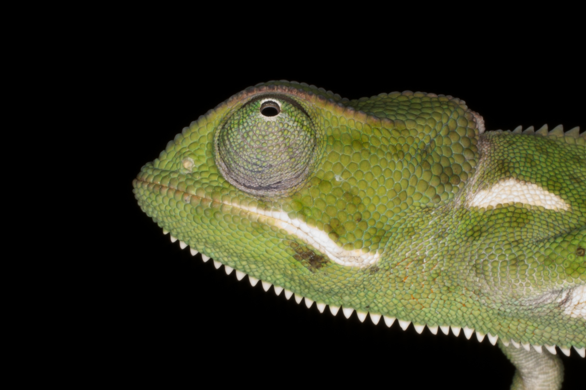 Image of Flap-necked chameleon