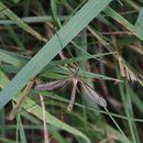 Image of Cranefly