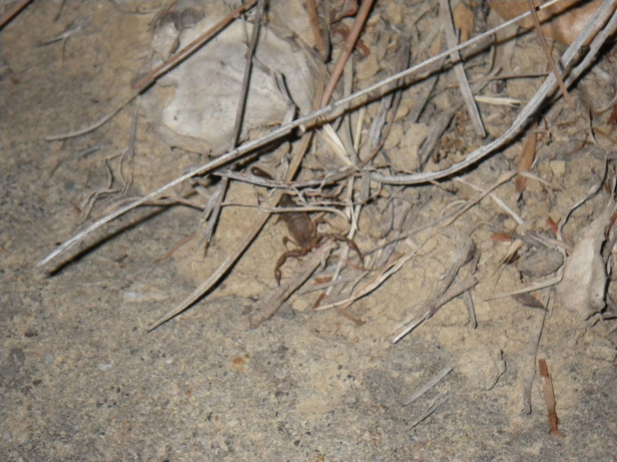 Image of <i>Serradigitus gertschi</i> (Williams 1968)