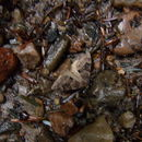 Image of Grey Pine Carpet