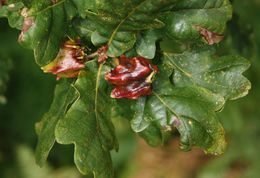Image of Knopper gall wasp