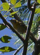 Image of Olive Warbler