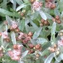 Image of <i>Gnaphalium uliginosum</i>