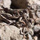 Image of Slow Mountain Grasshopper