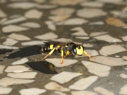 Image of Ornate Tailed Digger Wasp
