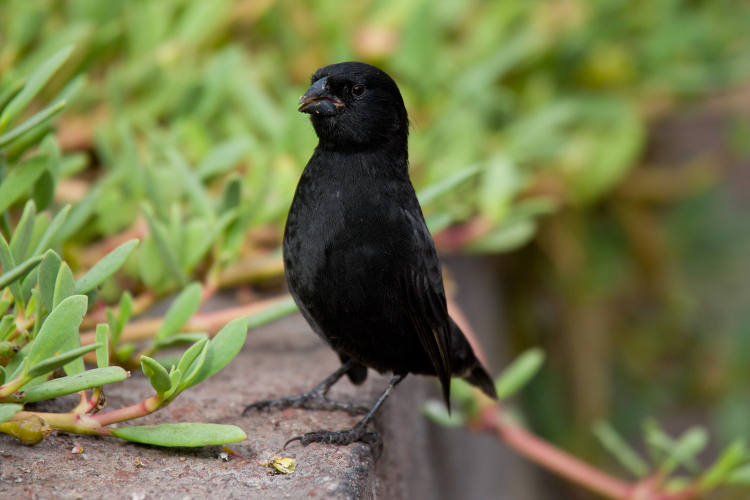 Image of Small Ground-Finch
