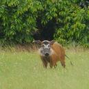 Image of <i>Potamochoerus porcus</i>