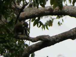 Image of Moustached Guenon
