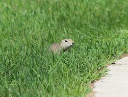 Image of Richardson's ground squirrel