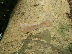 Image of <i>Macrosoma rubedinaria</i> Walker 1862