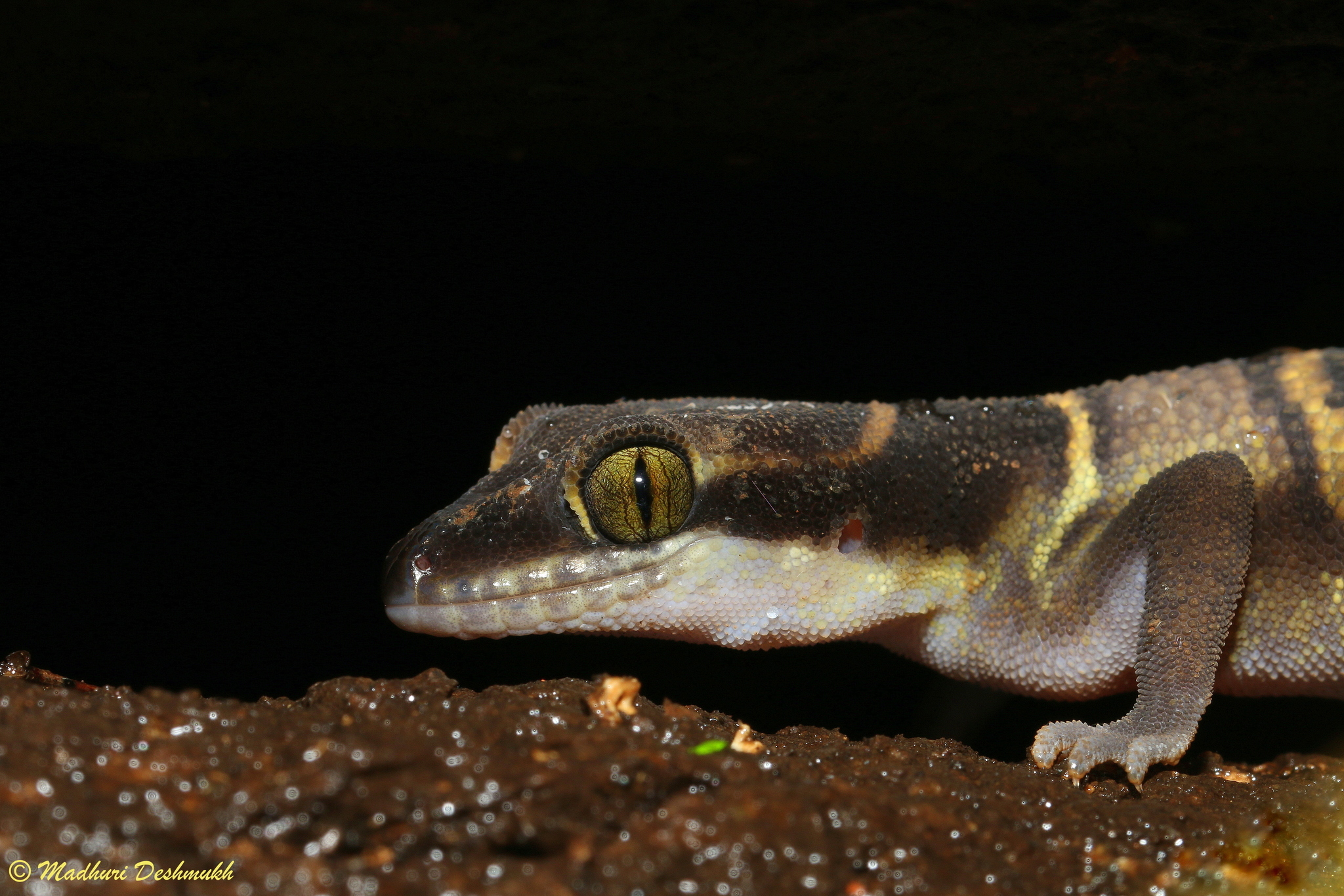 Image of Banded Ground Gecko