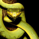 Image of Indian green tree viper