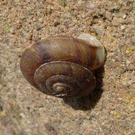 Image of <i>Helicigona lapicida</i>