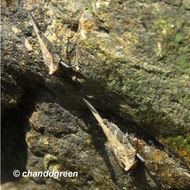 Image of <i>Eucriotettix oculatus</i> (Bolívar & I. 1898)