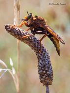 Image of Hornet robberfly