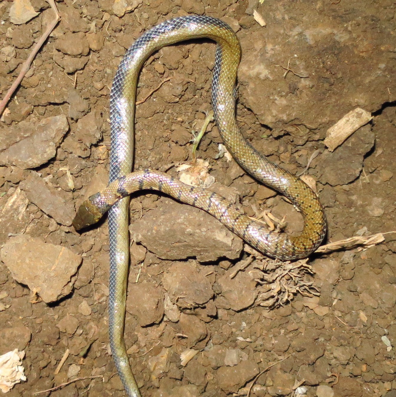 Image of Semiornate Smooth Snake