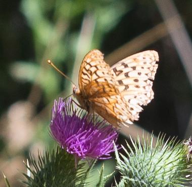 Image of Coronis Fritillary
