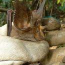 Image of Maclaud's Horseshoe Bat