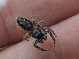 Image of Tan Jumping Spider