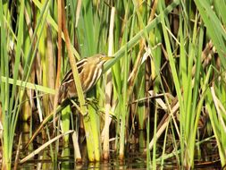 Image of Stripe-backed Bittern
