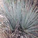 Image of <i>Yucca <i>glauca</i></i> glauca