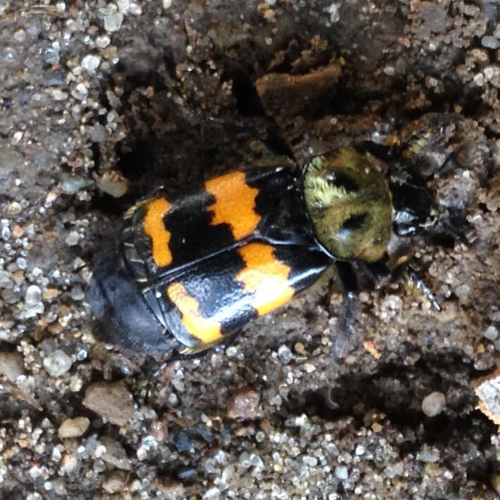 Image of Tomentose Burying Beetle
