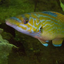 Image of Cuckoo Wrasse