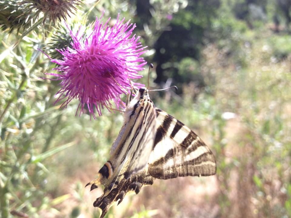 Image of Southern Scarce Swallowtail
