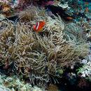 Image of Sebae anemone