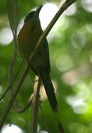 Image of Blue-capped Motmot
