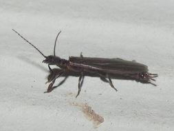 Image of Black Webspinner