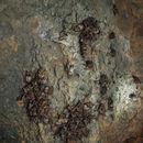 Image of <i>Otomops harrisoni</i>