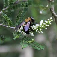Image of <i>Xylocopa <i>virginica</i></i> virginica (Linnaeus 1771)