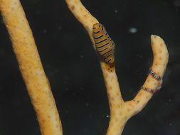Image of Tiger cuspivolva