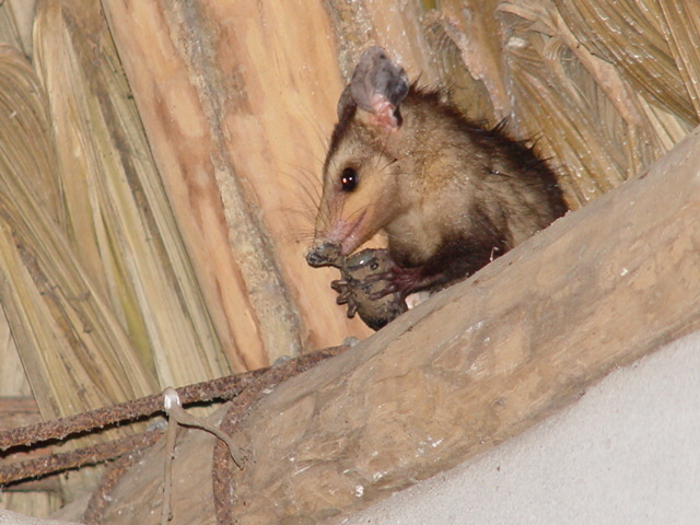 Image of Brown Four-eyed Opossum
