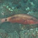 Image of Longbarbel goatfish